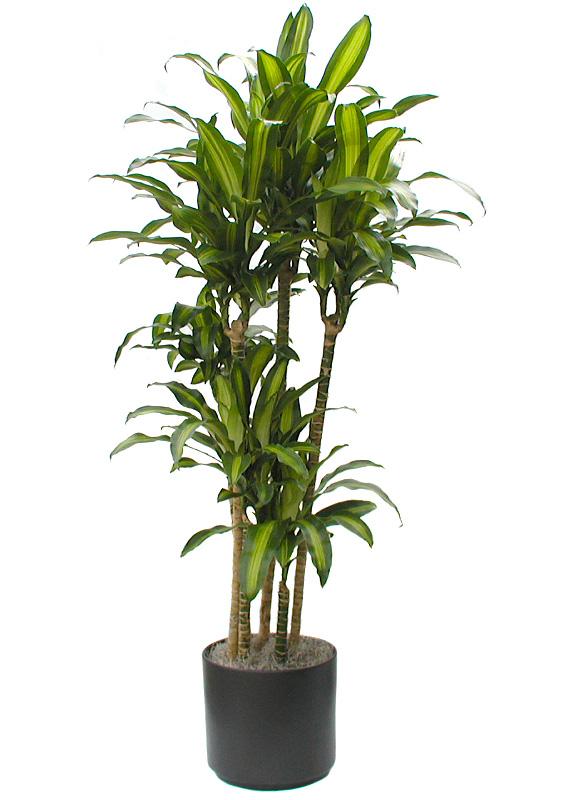 Low Light Plants Emerald Isle Plants
